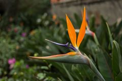 Flower bird of paradise Stock Images