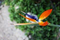 Flower of bird of paradise. Strelitzia reginae in the garden in Belgrade, Serbia royalty free stock photography