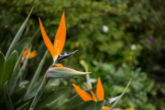 Flower bird of paradise. In public park Royalty Free Stock Photography