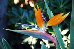 Flower Bird Of Paradise Strelitzia reginae Royalty Free Stock Photos