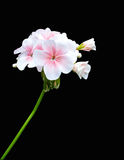 Flower on black back ground. White flowers on a black background Royalty Free Stock Image