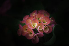 Flower Black background Euphorbia milli Crown of thorns,. Christ Thorn stock image