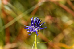 Flower of the black rampion Phyteuma nigrum. A plant in the Alps in Europe Stock Photography