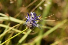 Flower of the black rampion Phyteuma nigrum Stock Image
