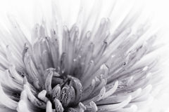 Flower in black and white Stock Photos
