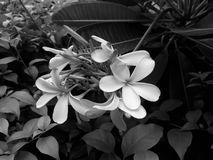 Flower. In black and white Stock Photos