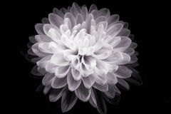 Flower (black and white) Royalty Free Stock Photos
