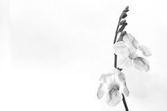 Flower in black and white isolated on white background. Royalty Free Stock Photography