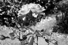 Flower in black and white 4 Stock Images