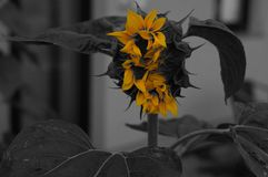 Flower, Black And White, Plant, Yellow Stock Image