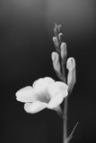 Flower in black and white tone Stock Image
