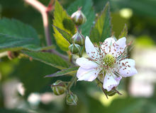 Flower of blackberry Royalty Free Stock Image