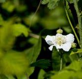 Flower of blackberry Royalty Free Stock Image