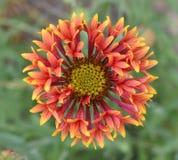 Flower, Blanket Flowers, Flora, Wildflower