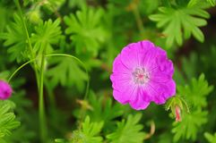 Flower of a bloody cranesbill royalty free stock image