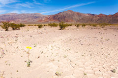 Flower bloom Badwater Basin Death Valley NP CA USA Stock Images