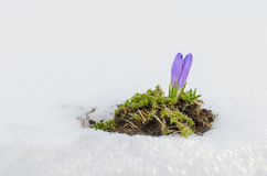 Flower bloom on melting snow Royalty Free Stock Image