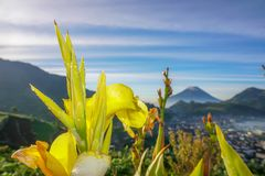 Flower. Bloom in the morning, Dieng, Indonesia Royalty Free Stock Photo