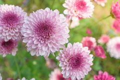 Flower blooming background wallpaper royalty free stock image