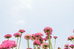 Flower blooming background wallpaper royalty free stock photography