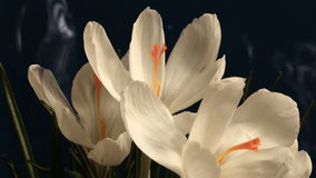 Flower Blooming Beautiful Spring Time Lapse stock video