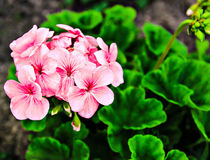 Flower. Blooming flowers home rose geranium Royalty Free Stock Photos