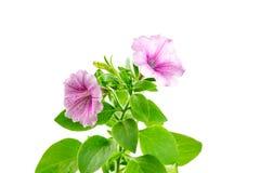 Flower blooming petunia Stock Image