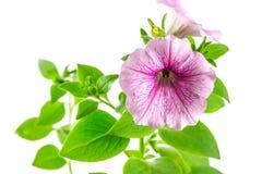 Flower blooming petunia Royalty Free Stock Image