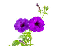 Flower blooming petunia Stock Photo
