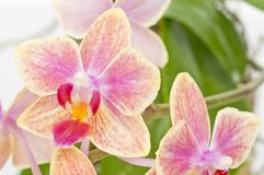 Flower of blooming  phalaenopsis orchid Stock Image