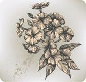 Flower blooming phlox, hand-drawing. Vector illust stock illustration