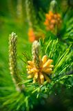 Flower blooming pine at spring Royalty Free Stock Photography
