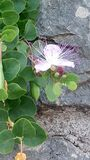 Flower, blooming plant climbing the rock wall royalty free stock photo