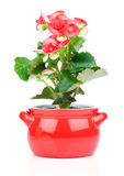 Flower blooming in a pot, red begonia Stock Images