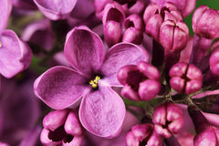 Flower blooming spring of lilacs Stock Images