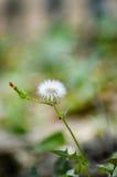 Flower blooming in summer. Flower blooming on the island of Corfu in summer Stock Photo