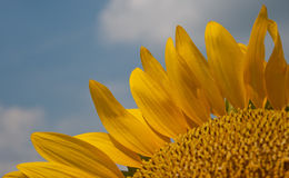 Flower blooming sunflowers Royalty Free Stock Photos