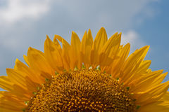 Flower blooming sunflowers Royalty Free Stock Image