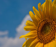 Flower blooming sunflowers Stock Image