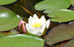 Flower blooming on the surface - water lilies Stock Images