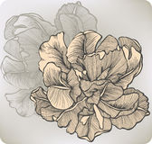 Flower blooming tulip, hand-drawing. Vector illust Stock Images