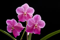 Flower of blooming  vanda orchid Royalty Free Stock Photography