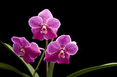 Flower of blooming  vanda orchid Stock Image