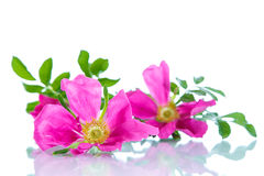 Flower blooming wild rose Royalty Free Stock Image