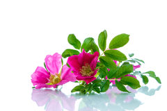 Flower blooming wild rose Royalty Free Stock Images