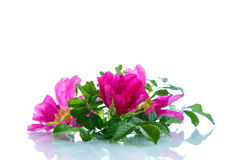 Flower blooming wild rose Stock Images