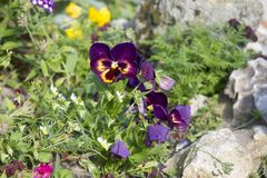 Purple end yellow violet Pansy Stock Photos