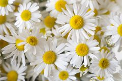 Matricaria chamomilla chamomile  daisy Stock Photography