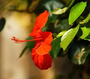 Flower, Blossom, Bloom, Red Flower Royalty Free Stock Image