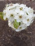 Flower blossom. Blossoms on a tree, a sign of spring Royalty Free Stock Image